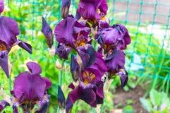 Purpere iris, violette bloemen in tuin stock afbeeldingen