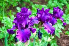 Purpere iris, violette bloemen in tuin Stock Foto's
