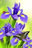 Purpere irisbloem royalty-vrije stock foto