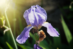 Purpere irisbloem Stock Foto's
