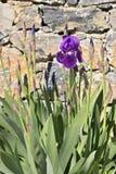 Purpere irisbloemen stock afbeelding