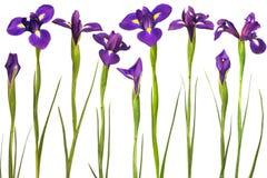 Purpere irissen die op witte achtergrond worden geïsoleerdr Stock Foto's