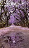 Purpere Jacaranda-bomen in bloemrijke steeg stock afbeelding