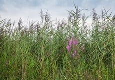 Purpere kattestaart tussen bloeiend die riet op een moerassig gebied wordt gevonden stock fotografie