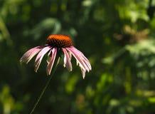 Purpere Kegelbloem of Echinacea Purpurea Stock Afbeeldingen