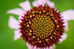 Purpere kegelbloem - Echinacea-purpurea Royalty-vrije Stock Foto's