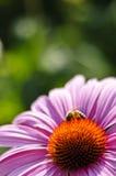 Purpere kegelbloem (purpurea Echinacea) Royalty-vrije Stock Foto