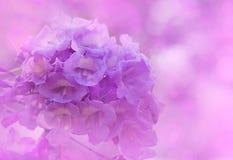 Purpere kleur van Jacaranda-de achtergrond van mimosifoliabloemen royalty-vrije stock afbeelding