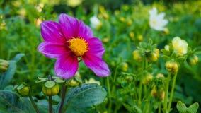 Purpere kleurenbloem Stock Foto