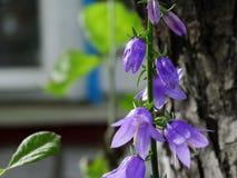Purpere klokvormige bloem Royalty-vrije Stock Afbeelding