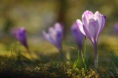 Purpere krokusbloem bij de lente Royalty-vrije Stock Afbeeldingen