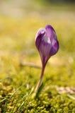 Purpere krokusbloem bij de lente Royalty-vrije Stock Fotografie