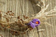Purpere krokusbloem in droge kroon Stock Foto's