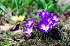 Purpere Krokusbloemen Stock Afbeelding