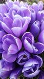 Purpere krokusbloemen royalty-vrije stock afbeelding