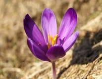 Purpere krokusbloemen Royalty-vrije Stock Foto's