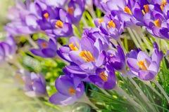 Purpere Krokusbloemen, de Lenteachtergrond Stock Afbeeldingen