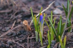 Purpere Krokusbloemen die in de lente bloeien Stock Fotografie