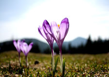 Purpere krokussen - bloemen stock foto's