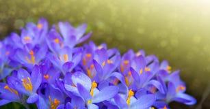 Purpere krokussenbloemen en zonlicht De achtergrond van de lente royalty-vrije stock foto