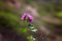 Purpere Kustwildflower Stock Fotografie