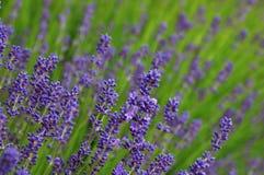 Purpere lavendel Stock Afbeelding