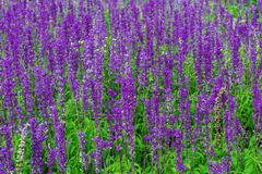 Purpere lavendel Stock Afbeeldingen