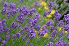 Purpere lavendel stock foto's