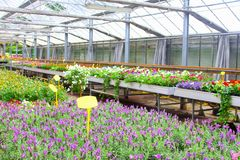 Purpere lavendel, lavandula, de serre van tuininstallaties Stock Foto