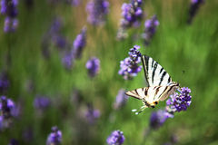 Purpere lavendelbloemen, Close-up van bemerkte bloem Royalty-vrije Stock Foto