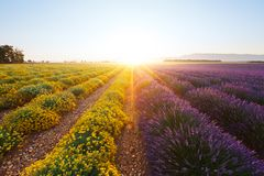 Purpere lavendelbloemen en gele dwergeverlastbloemen in de Provence bij zonsopgang Stock Foto's
