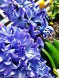 Purpere lelies Royalty-vrije Stock Afbeeldingen