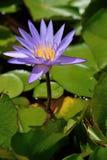 Purpere lelies op een licht Stock Foto's