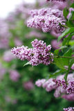 Purpere lilac achtergrond Stock Foto's