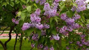 Purpere lilac bloei stock footage