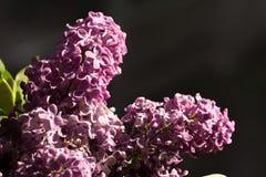 Purpere lilac bloem op de zonnige helderheid stock foto's