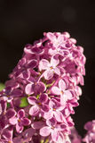Purpere lilac bloem op de zonnige helderheid royalty-vrije stock foto's