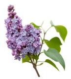 Purpere Lilac bloemen die op wit worden geïsoleerd Royalty-vrije Stock Afbeeldingen