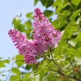 Purpere lilac bloesem die in de lente bloeien stock afbeelding