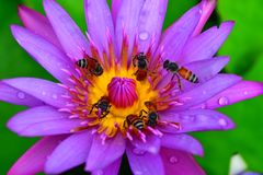 Purpere lotos Royalty-vrije Stock Afbeelding