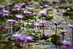 Purpere Lotus-bloem op water Stock Foto
