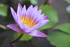 Purpere Lotus Flower Stock Foto