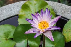 Purpere lotusbloem Stock Foto's