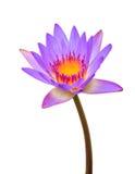 Purpere lotusbloem Royalty-vrije Stock Foto's