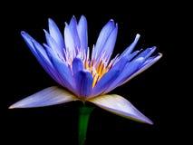 Purpere lotusbloem 1 Stock Afbeelding