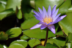 Purpere lotusbloem Royalty-vrije Stock Afbeelding