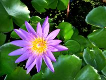 Purpere lotusbloem in de pool stock foto