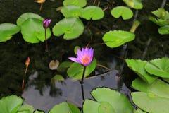 Purpere lotusbloem in de vijver Stock Afbeelding