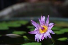 Purpere lotusbloem die in de vijver bloeien Stock Foto's