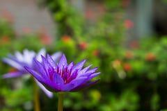 Purpere lotusbloem die met waterdaling bloeien Stock Afbeelding